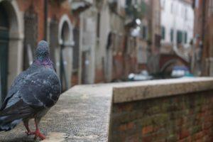 Pigeon vénisien